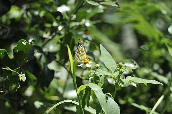 淡褐脈粉蝶 (淡紫粉蝶) -李鐘寶攝