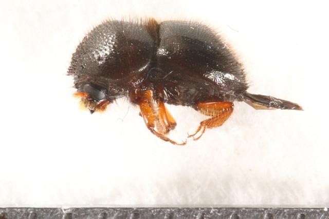 小蠹蟲Hadrodemius globus 身長約5公厘,已是台灣最大的小蠹蟲之一