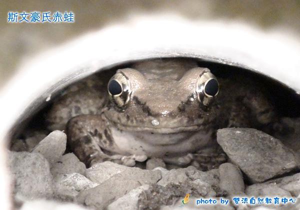 斯文豪氏赤蛙-套印模板.jpg