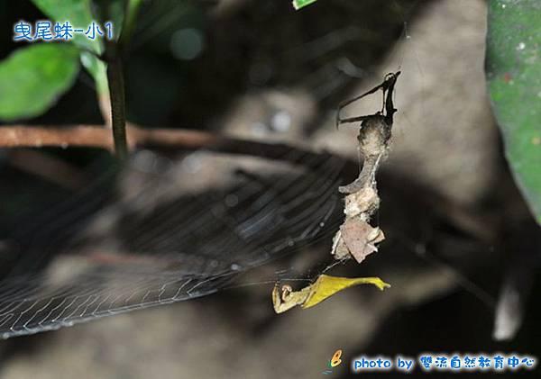 曳尾蛛-小1-.jpg