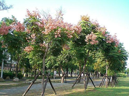 台灣巒樹4