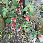 紅蝦花.JPG