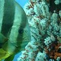 超愛現的魚  老是在我們前面游來遊去   和珊瑚