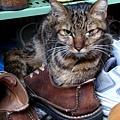 20100119-001 這隻貓霸佔了我的鞋!