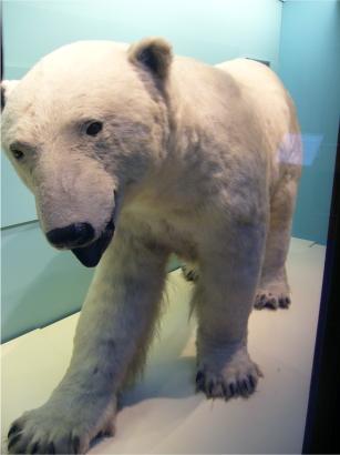 ploar bear
