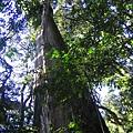 [東進新康十景] 新康一號巨木