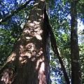 雙包巨木之一