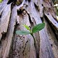 倒木孕育新芽