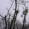 去年強颱後 到現在都還沒復原的林木