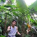 回到香蕉叢