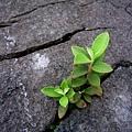 堅毅著生長於石縫中