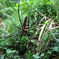 巴掌大的人面蜘蛛
