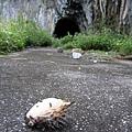 崖壁舊路上竟有刺河豚?