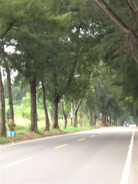 瓊林 木麻黃隧道