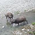 溪邊的牛兒