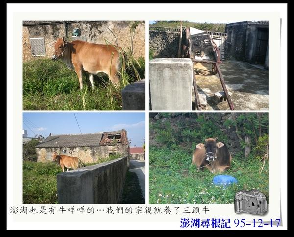 7澎湖的牛.jpg