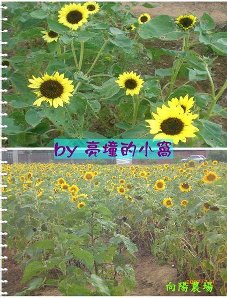 向陽農場花海.jpg
