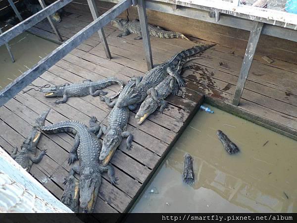 雜貨店養的(?)鱷魚