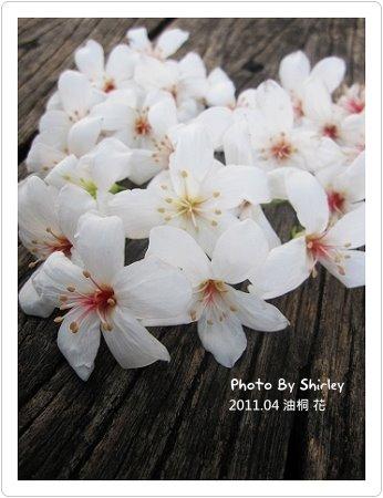 油桐花04