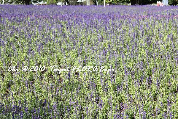 鼠尾草,不是薰衣草。