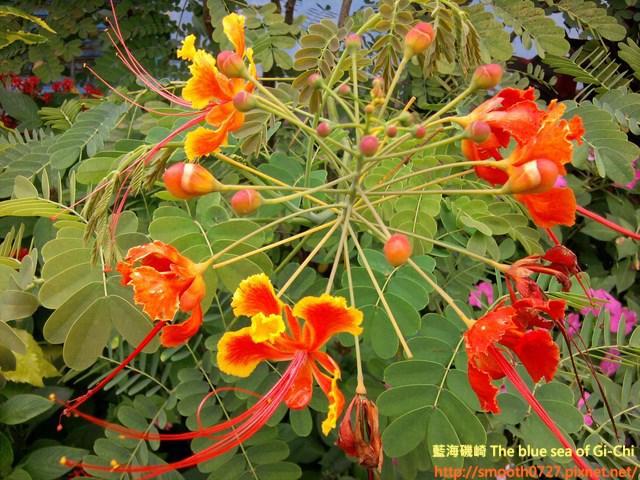 盛開的金鳳花