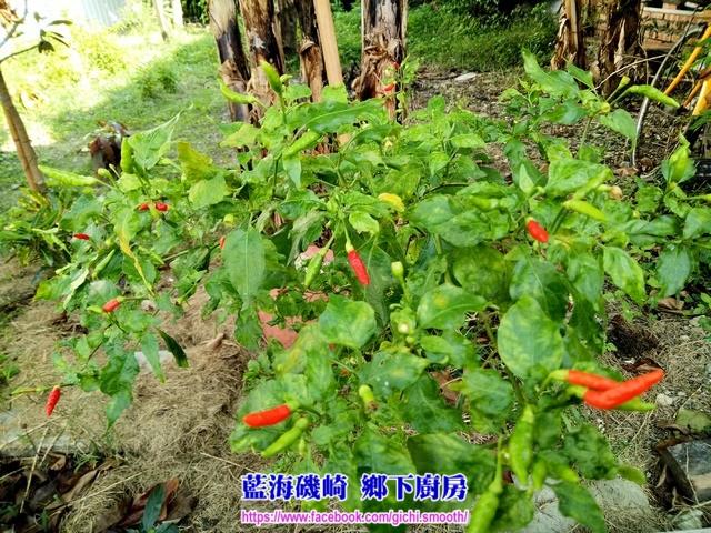 醃漬 原生雞心辣椒(原住民小辣椒)-藍海磯崎 鄉下廚房