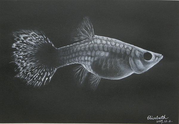 2009/12/2 孔雀魚