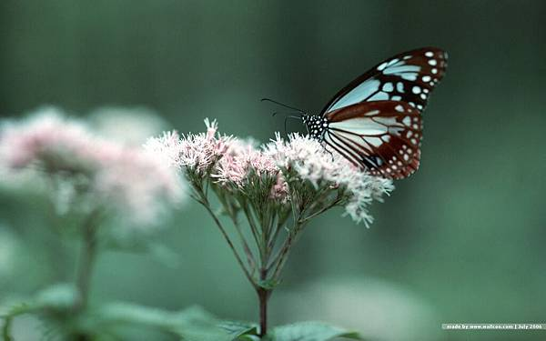 1440x900_butterfly_wallpapers_butterfly_EA55034.jpg