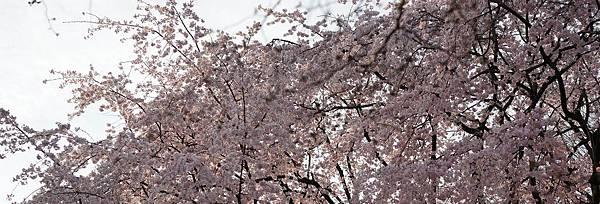 sakura-e1456473863696