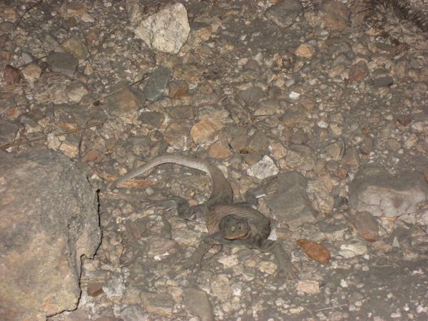 查克瓦拉鬣蜥