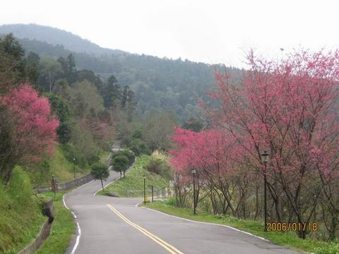 道路旁的櫻花