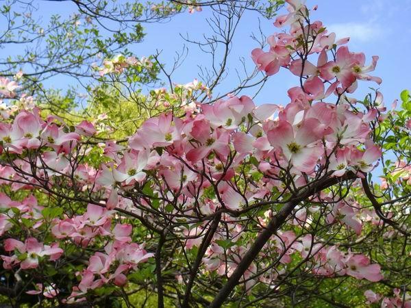 僅剩的一些櫻花