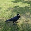 日本的吉祥物--烏鴉