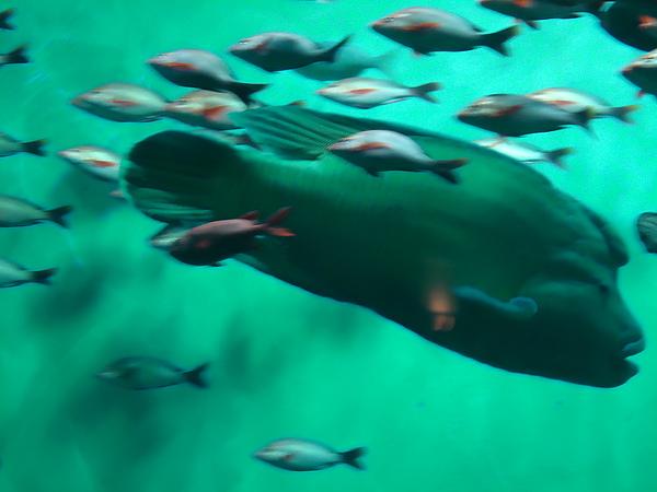 王者之魚(蘇美魚)‧尼克斯海洋公園‧登別