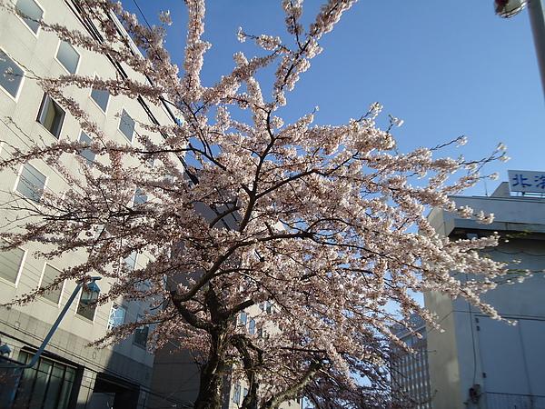 櫻花‧五稜郭街道‧函館