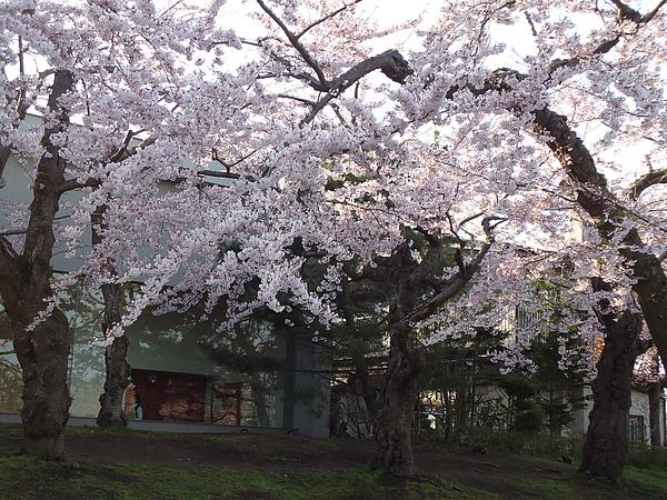 櫻花‧五稜郭公園‧函館