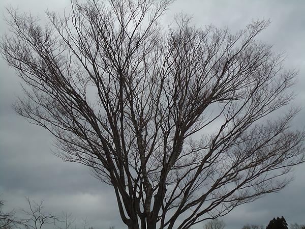 200歲的櫻花樹‧百年女子修道院‧函館