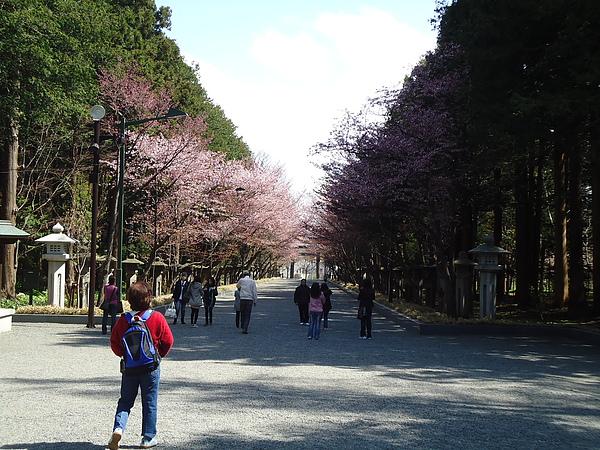 櫻花隧道‧北海道神宮‧札幌