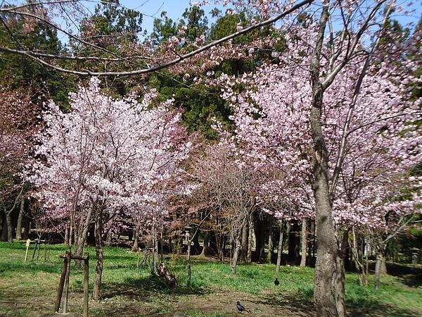 櫻花‧圓山公園‧札幌