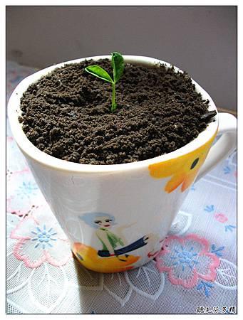 盆栽咖啡白