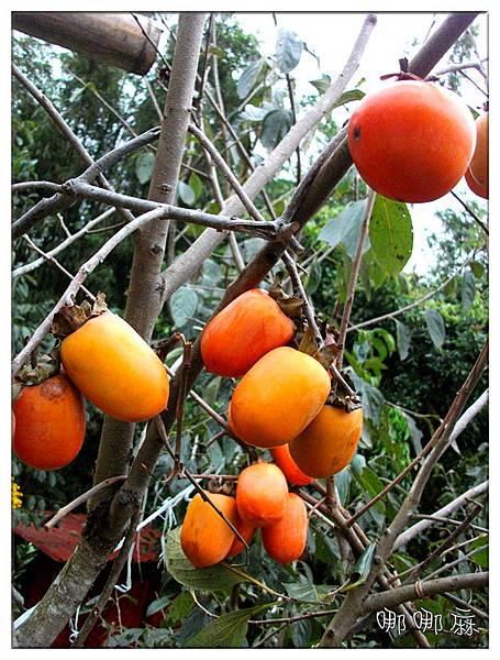 樹上的柿子
