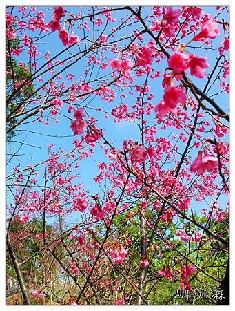 櫻花往上拍