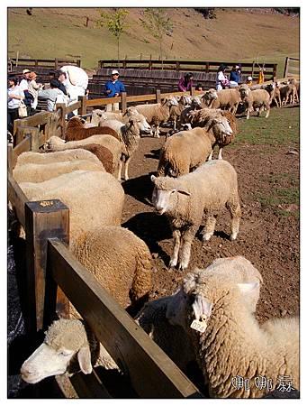 柵欄內的羊