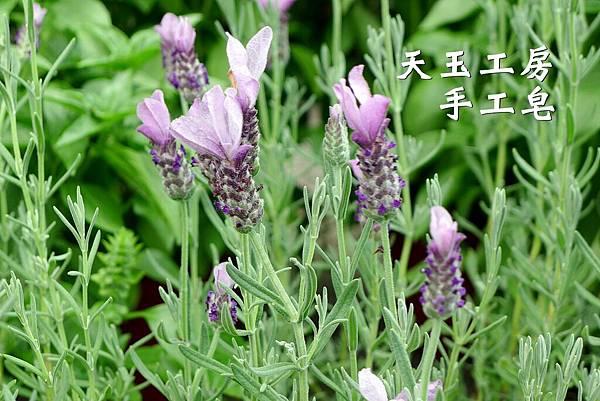 薰衣草 3