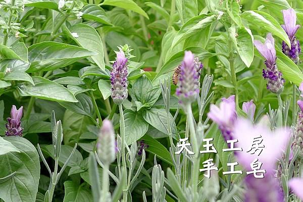 薰衣草 2