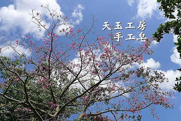 美人樹 1