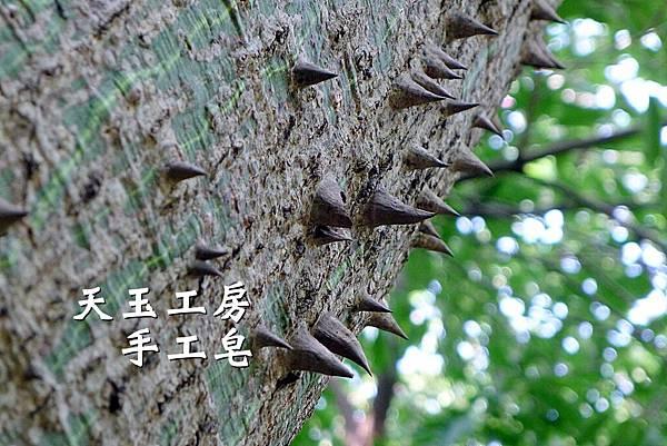 美人樹 3