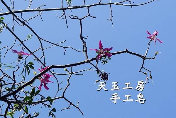美人樹花 2