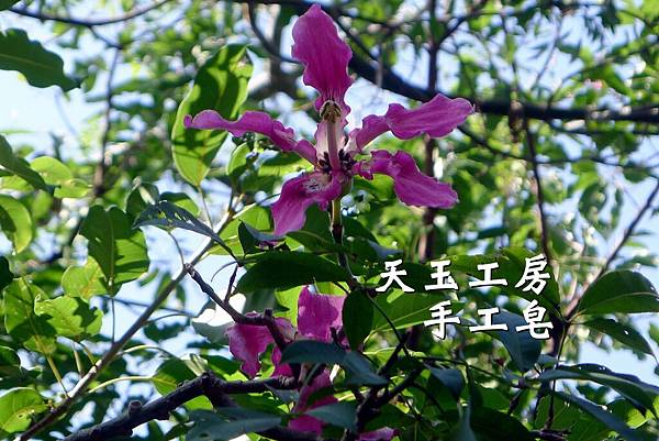 美人樹花 3