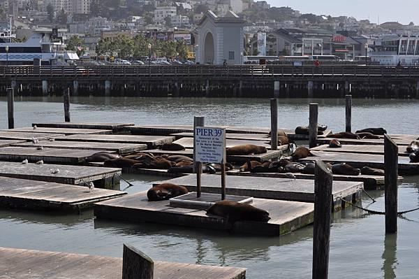 漁人碼頭的海獅